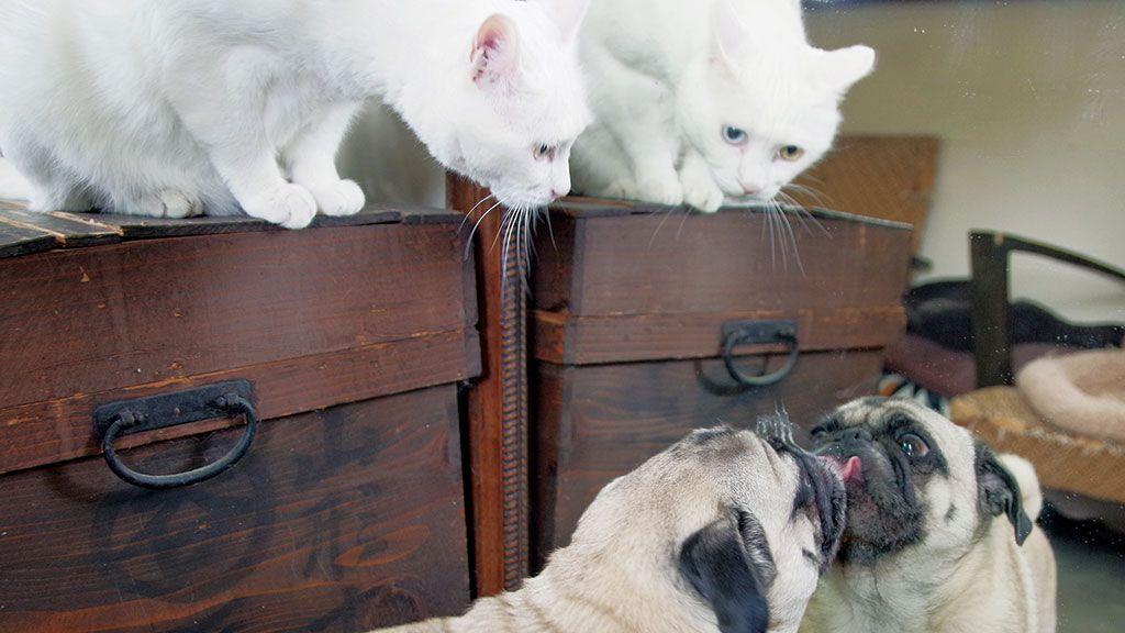 自分を猫だと思っているパグ。鏡を覗き込んだ時の反応は…〈フォトエッセイ〉