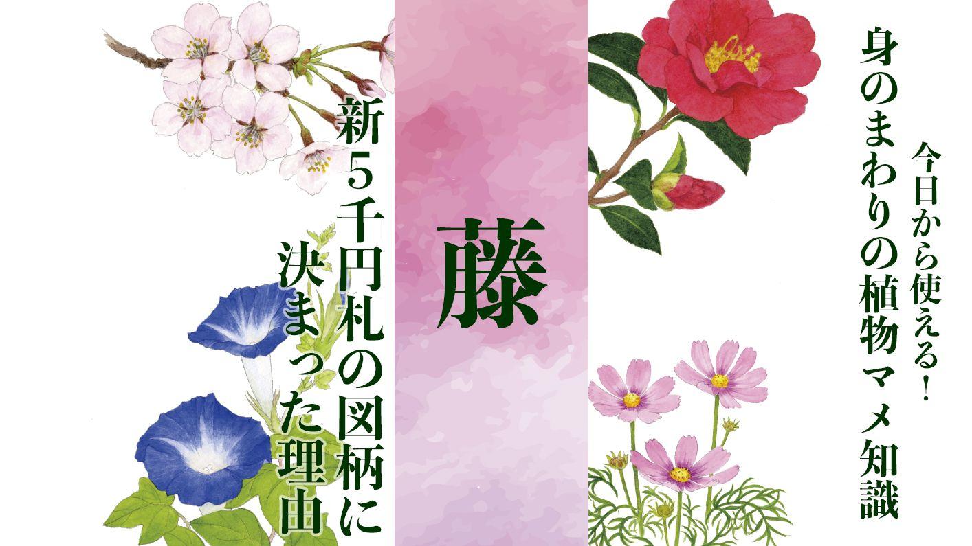 【藤】新5,000円札の図柄に決まった理由〈身のまわりの植物マメ知識〉