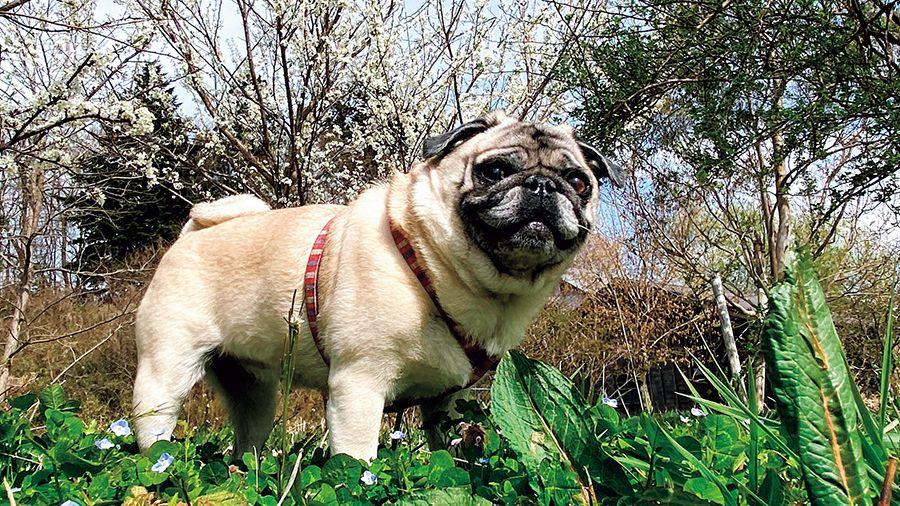 最高のお散歩コースで、パグの口角もアゲアゲ!草むらの匂いクンクン!