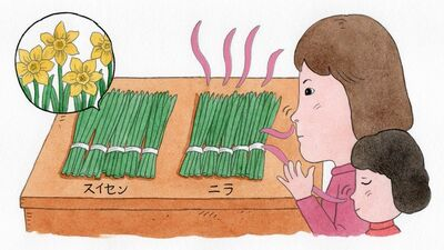 ニラと間違えて食べ死亡例も!「スイセン」は認知症用治療薬にも使われる