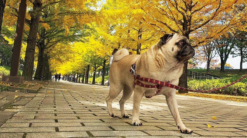 世界で一番黄色が似合うパグ? オレの銀杏並木だ!〈フォトエッセイ〉