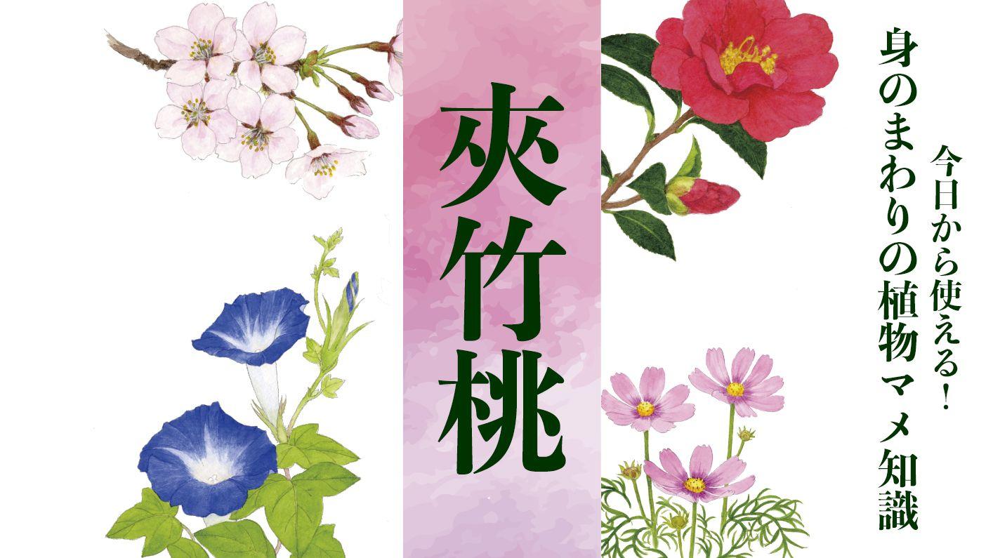 【夾竹桃(キョウチクトウ)】花言葉は「危険」。西南の役では食中毒者も。牧村三枝子の曲にも歌われた〈身のまわりの植物マメ知識〉