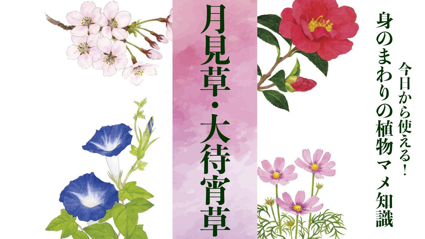 【月見草・大待宵草(ツキミソウ・オオマツヨイグサ)】開花の準備は前日から2回に分けて行われる〈身のまわりの植物マメ知識〉