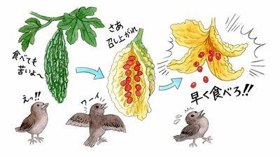 人間用の苦い「ゴーヤー」は成熟前のもの。食べられなかった時の弾けっぷりに、鳥もびっくり