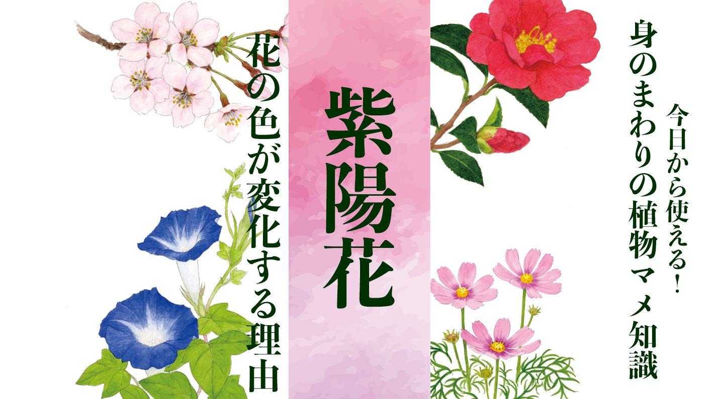 【紫陽花】シーボルトが愛した「お滝さん」は、移り気で毒がある〈身のまわりの植物マメ知識〉