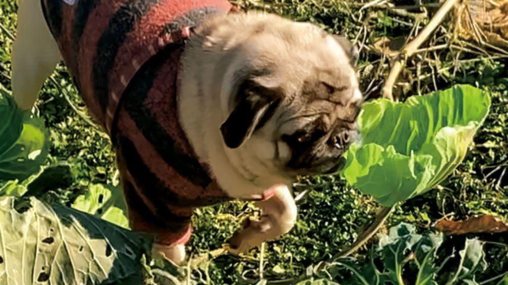 春キャベツが大好物のパグ。畑に出た途端、キャベツ泥棒に変身!〈フォトエッセイ〉
