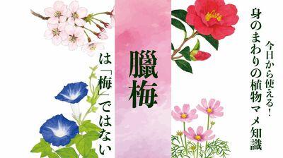 【ロウバイ】は「梅」ではない〈身のまわりの植物マメ知識〉