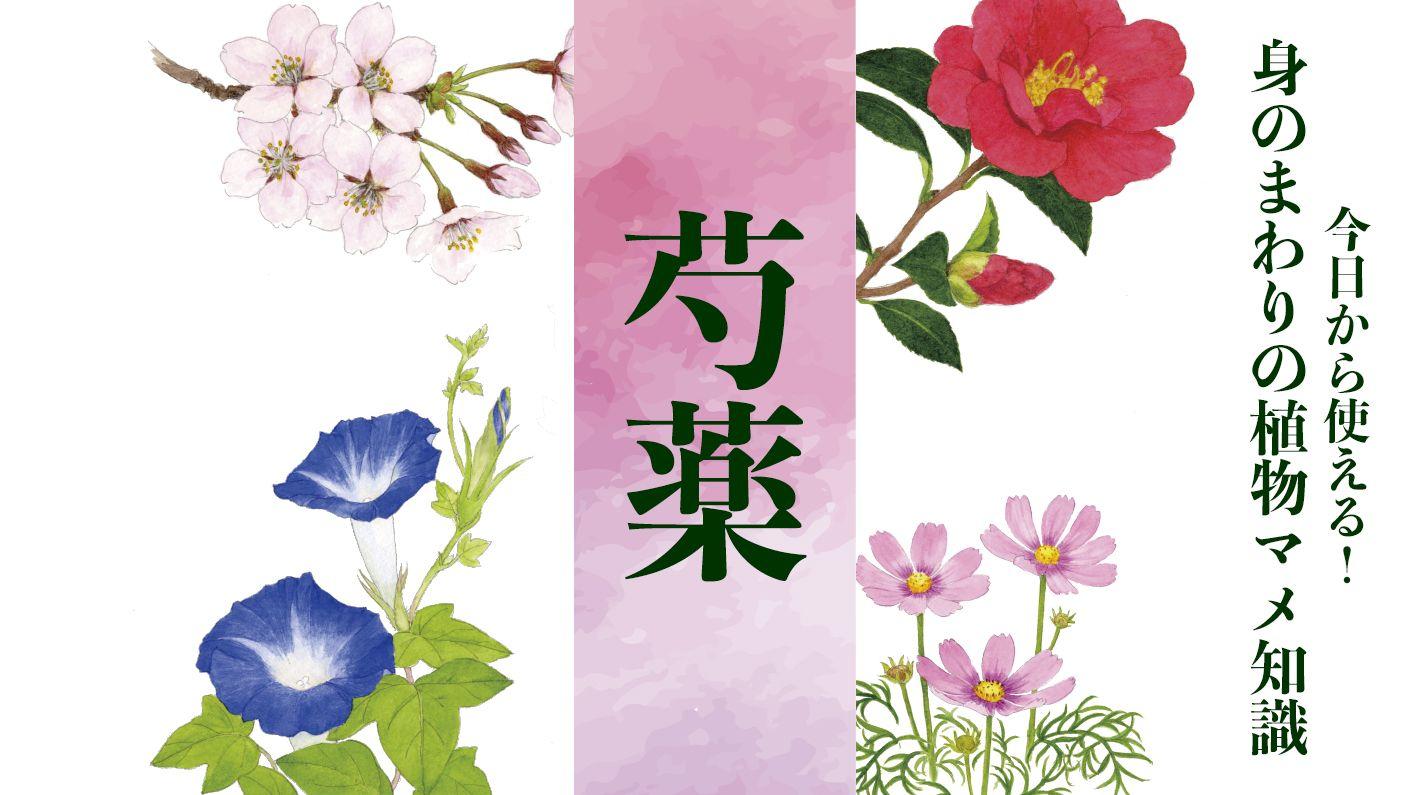 【芍薬】「立てばシャクヤク座ればボタン…」こむら返りや胸の痛みに処方される美しい薬草〈身のまわりの植物マメ知識〉
