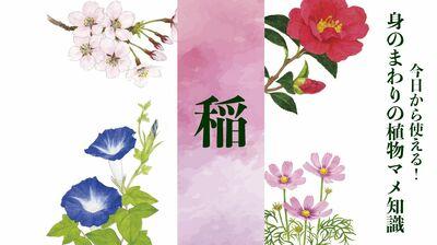【稲】受粉を虫に頼らないので派手な花は必要なし。自家受精で実る人間に都合の良い作物〈身のまわりの植物マメ知識〉
